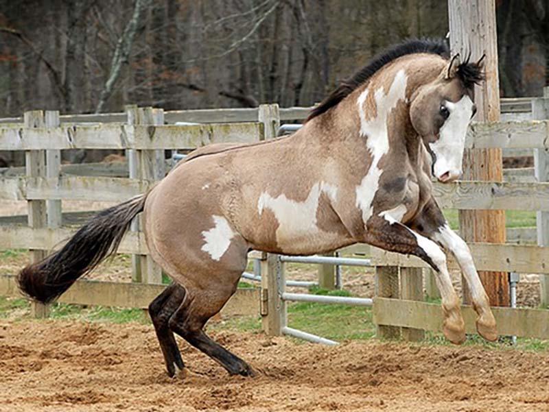 Чалая масть лошади: описание и фото масти