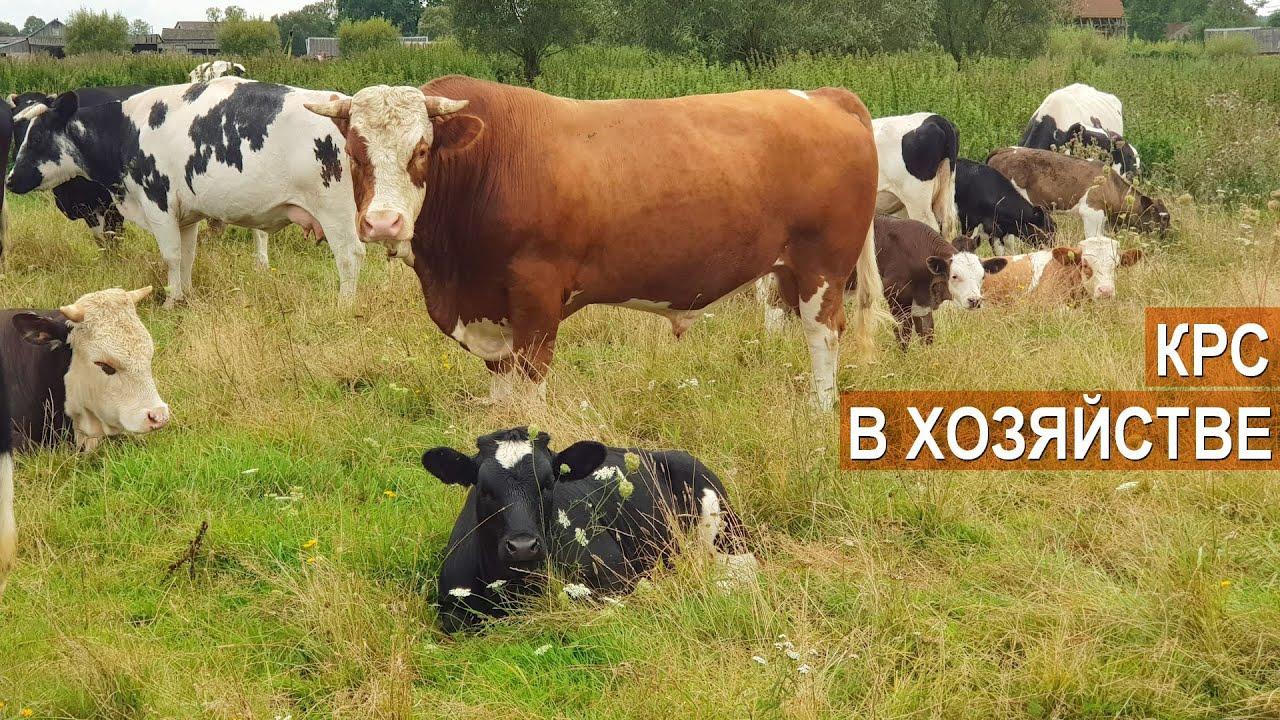 Разведение коров в домашних условиях — cельхозпортал