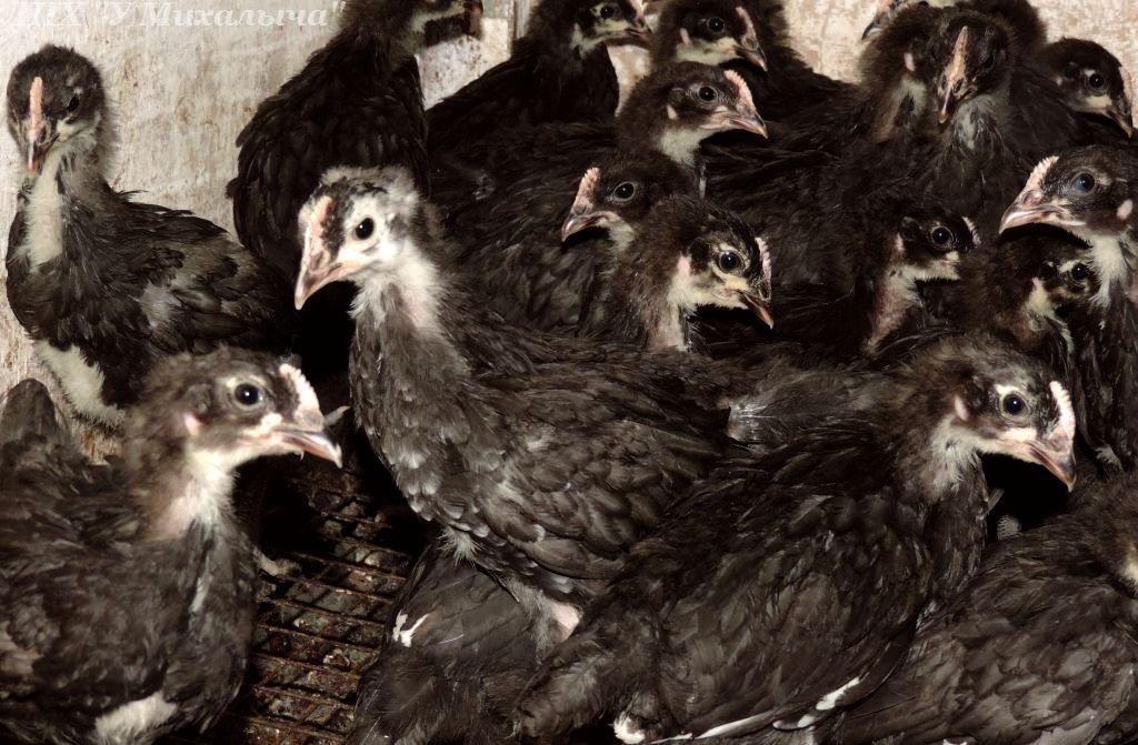 Порода кур барбезье (15 фото): особенности, продуктивность и содержание. отзывы