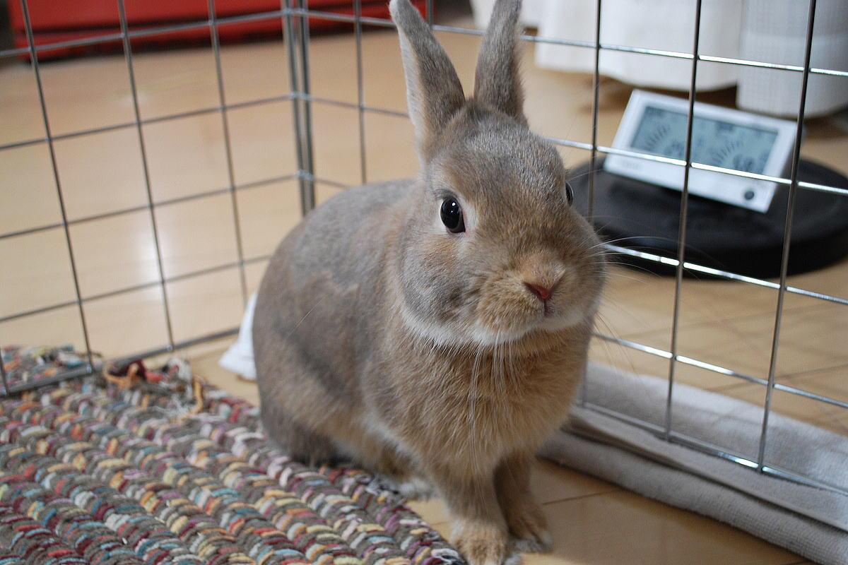 Декоративные кролики: породы зверьков, правила ухода и содержания в домашних условиях