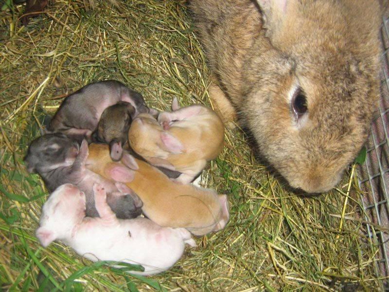 В каком возрасте надо отсаживать от крольчихи крольчат, когда и как лучше производить отсадку малышей