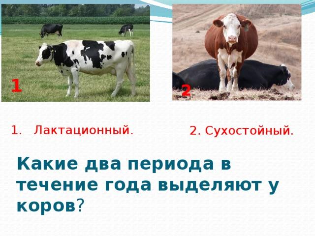 Кормление стельных коров в сухостойный период: норма питания перед отёлом