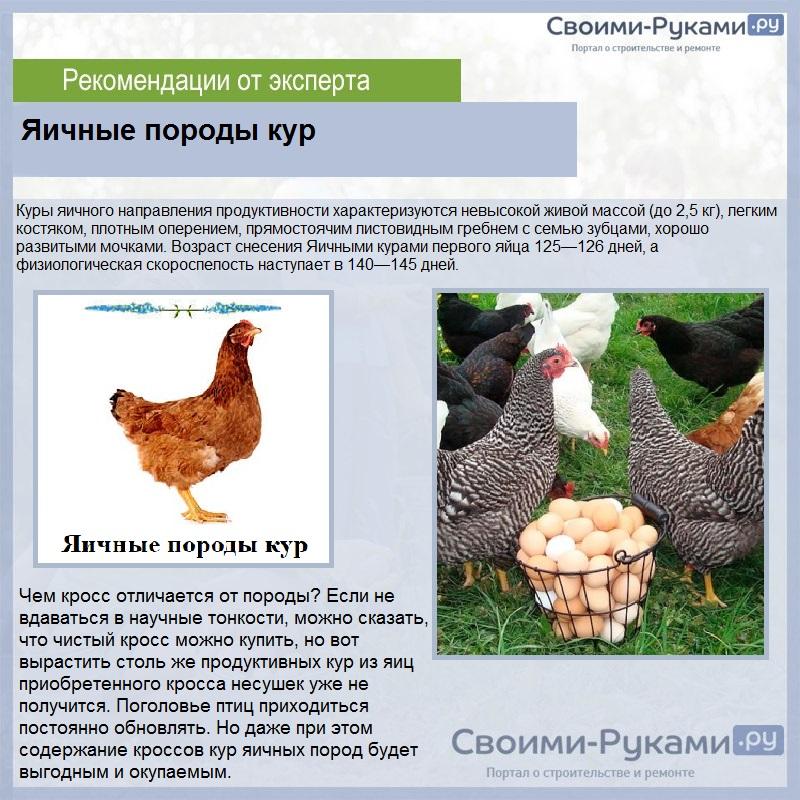 Яичные породы кур самые яйценоские в условиях домашнего хозяйства, и какое из направлений лучше выбрать - крупных птиц  или мини,  фотографии и описание