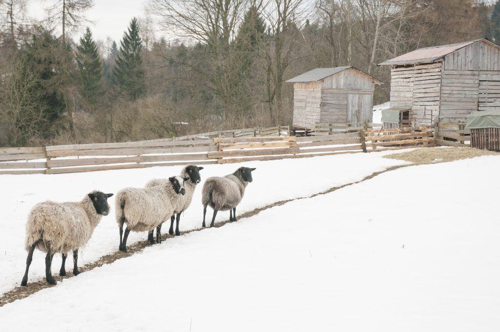 Характеристика и особенности содержания романовской породы овец