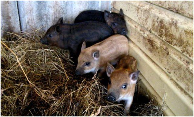 Кармалы — что это за порода домашних свиней. разведение, уход, отзывы владельцев