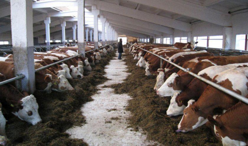 Разведение коров на молоко или мясо в домашних условиях: с чего начать фермерский бизнес и как составить план?