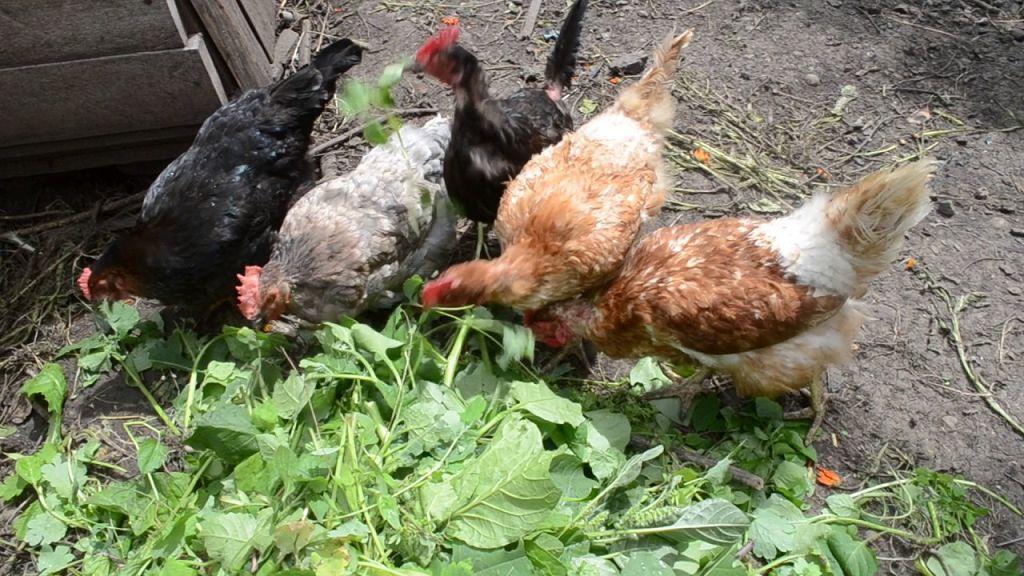✅ в каком виде давать крапиву курице несушке (можно ли кормить, заготовка на зиму) - tehnomir32.ru