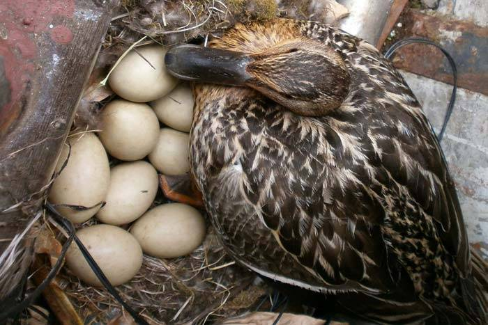 ✅ сколько сидит цесарка на яйцах, когда и в каком возрасте начинают нестись - tehnomir32.ru