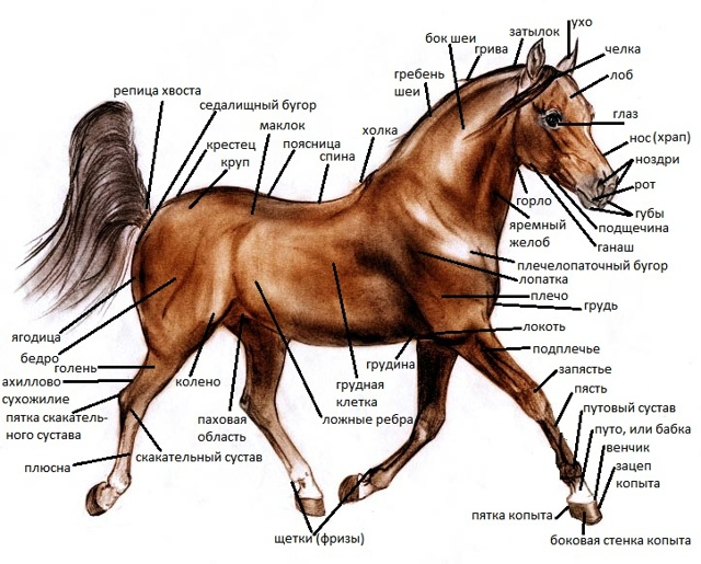 Стати лошадей: особенности строение головы и тела