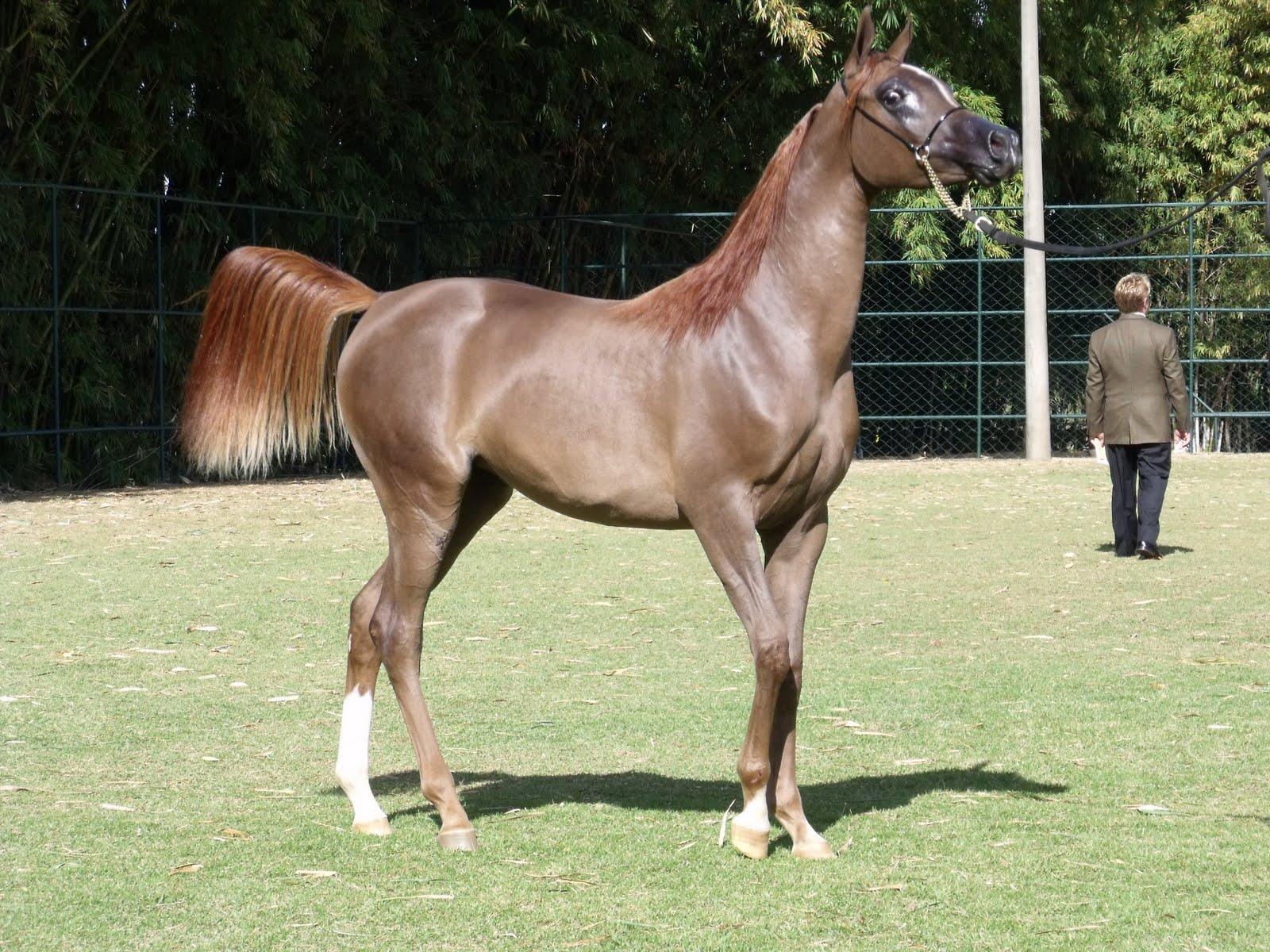 Арабская порода лошадей: история, типы и фото | мои лошадки