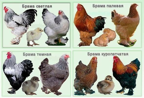 Амераукана порода кур – описание, содержание, фото и видео