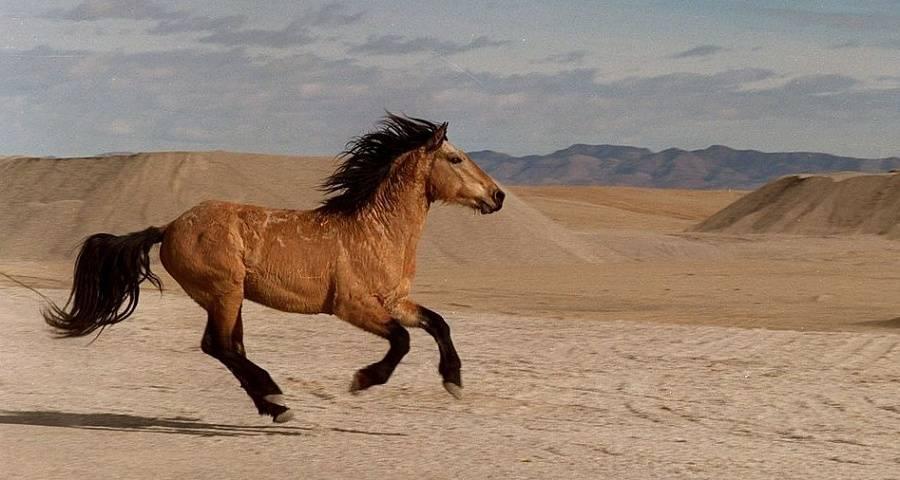 Порода диких лошадей — мустанг