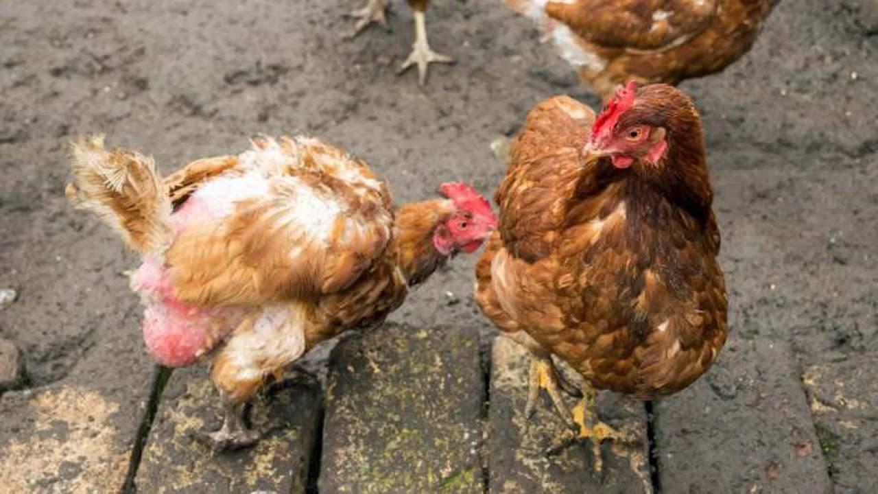 Птерофагия у кур: выщипывание и поедание пера. с чем связано, почему требует неотложного вмешательства и как предотвратить заболевание?