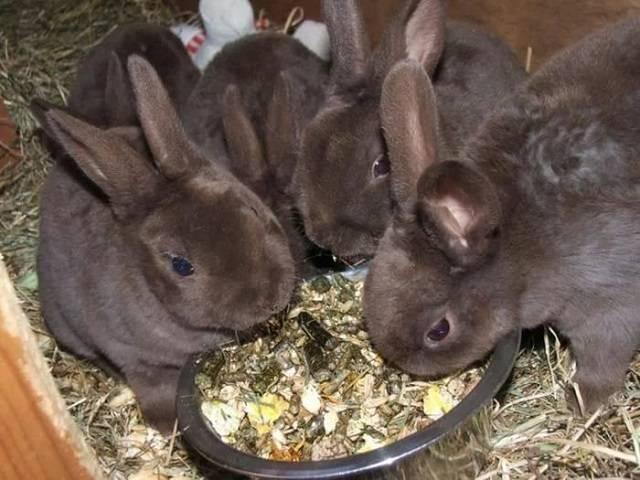 Как и чем кормить кроликов для быстрого роста и веса: что лучше для набора, стимуляторы