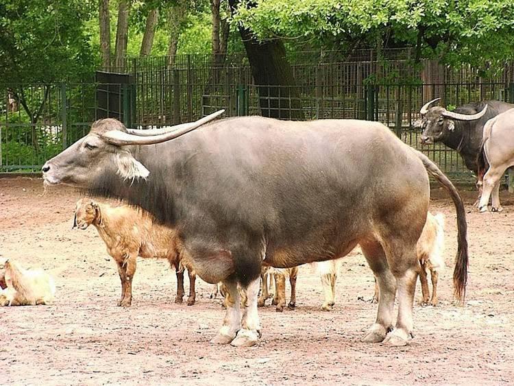 Все о горбатом воле (как выглядит кастрированный бык, правила ухода)
