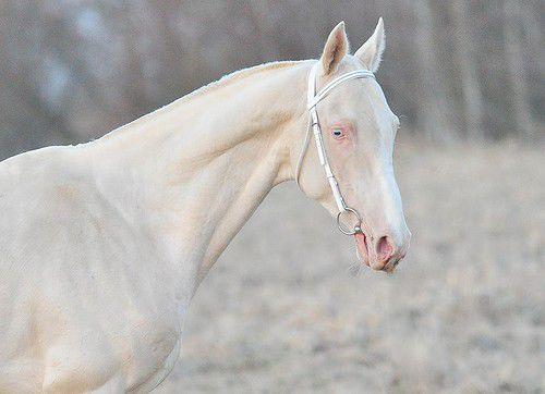 Обзор изабелловой масти лошади: происхождение, особенности и фото
