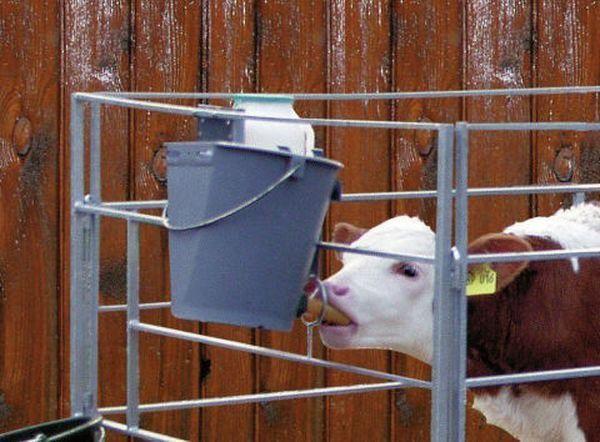 Корова в домашних условиях: способы разведения, правила содержания, уход, кормление и особенности выращивания (105 фото)