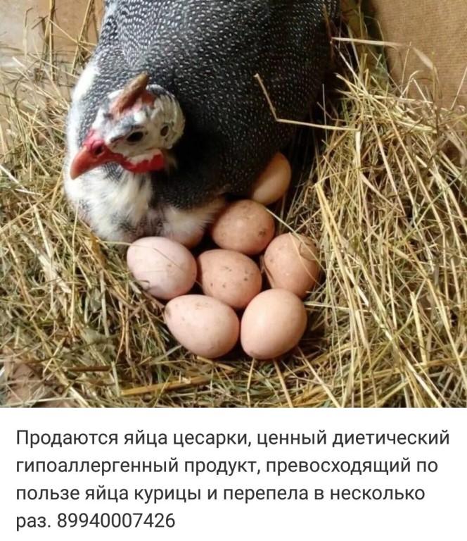 Разведение цесарок в домашних условиях: что это за птица и для чего ее разводят, как ухаживать, видео о содержании, кормлении и выращивании