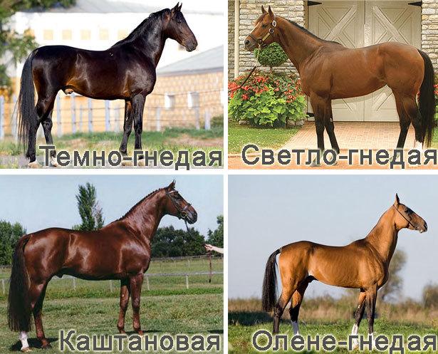 Каурая масть лошади.описание и фото масти | мои лошадки