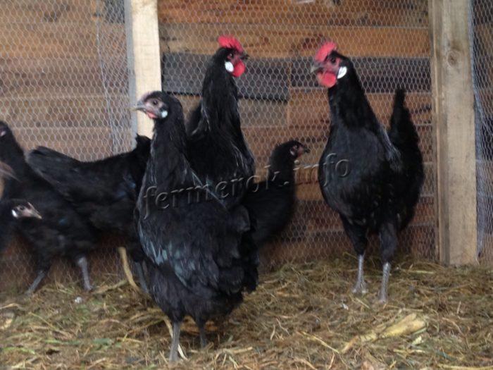 Пушкинская порода кур: описание и тонкости выращивания