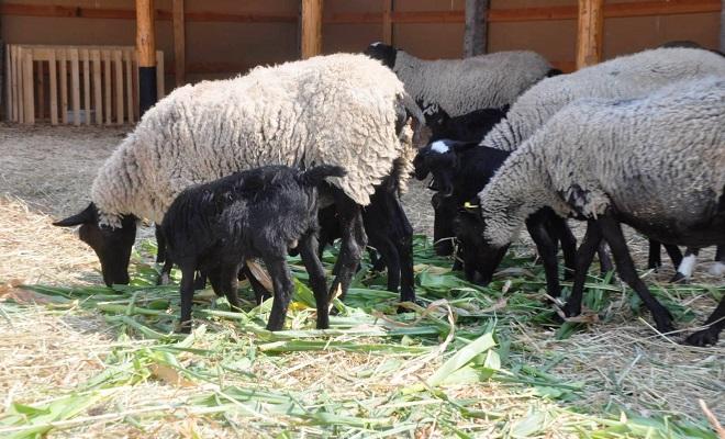 Овцы романовской породы: характеристика, содержание и разведение