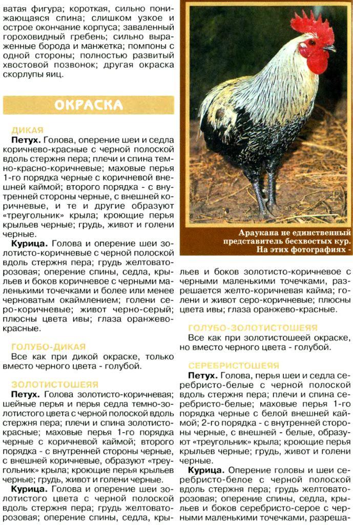 Порода кур амераукана: описание и характеристика, содержание и уход, отзывы
