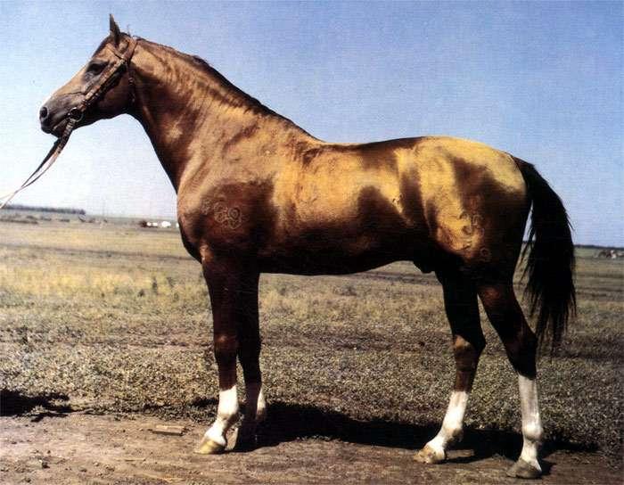 Характеристика лучших верховых пород лошадей