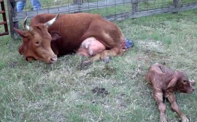 Изменение внутренних органов при послеродовом парезе коров. послеродовой парез у коров. что такое парез у коров