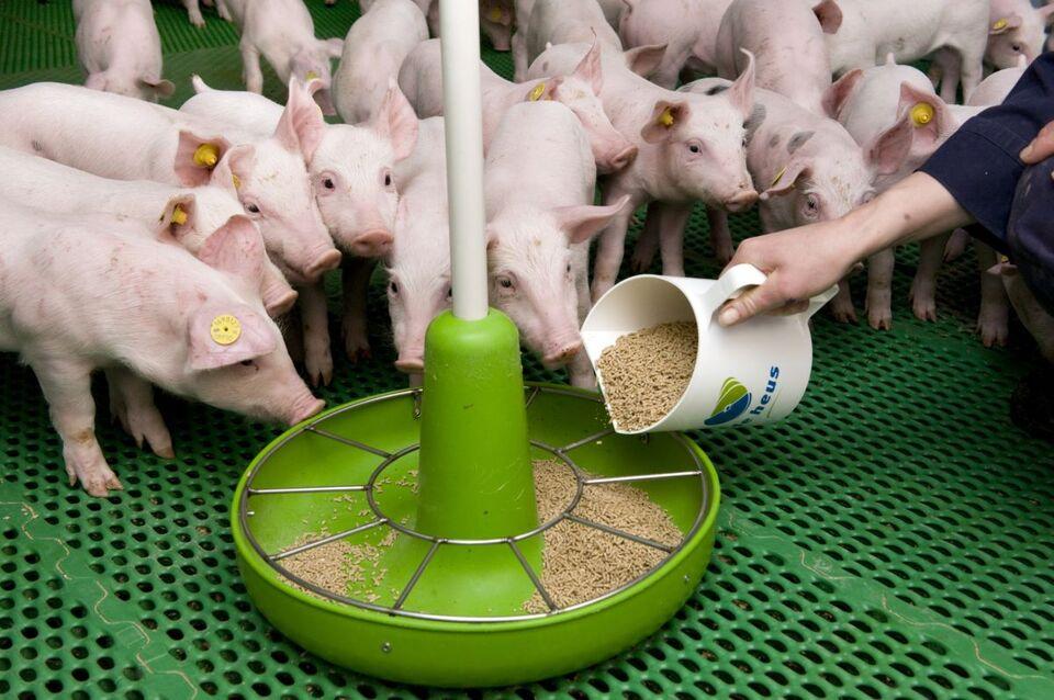 Стимуляторы быстрого роста для свиней