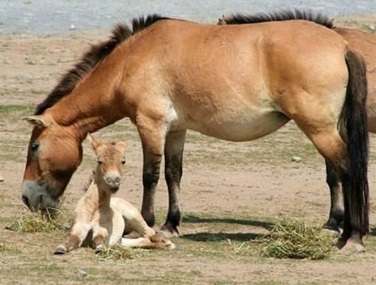 Исчезновение и возрождение лошади пржевальского