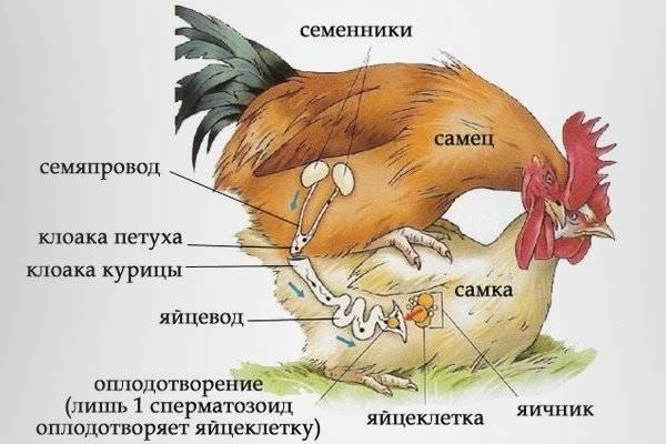 Нужен ли петух для того чтобы курица несла яйца: описание, фото и видео
