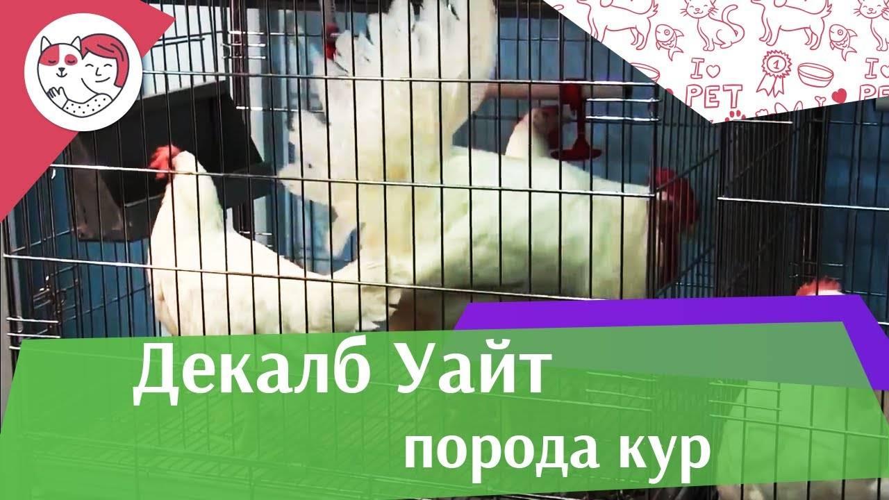 Порода кур декалб белый – описание, фото и видео