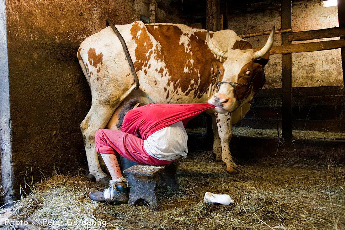 Что делать, если корова бьется при доении, причины, основные правила доения