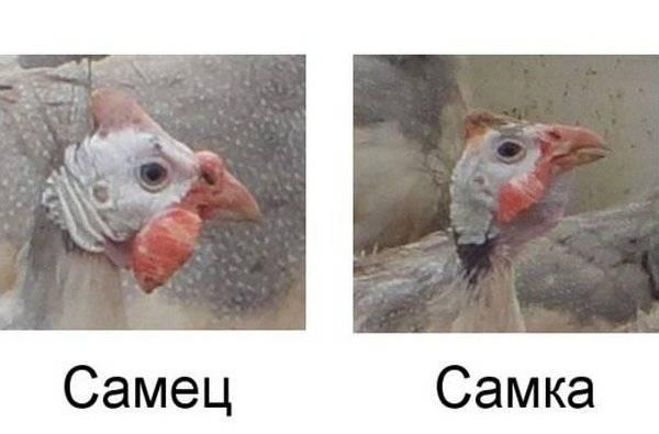 Идентификация цесарки: как методично отличить вашу самку в стайке от самца