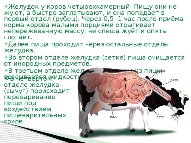 Скелет коровы: строение, анатомия, области тела и количество ребер