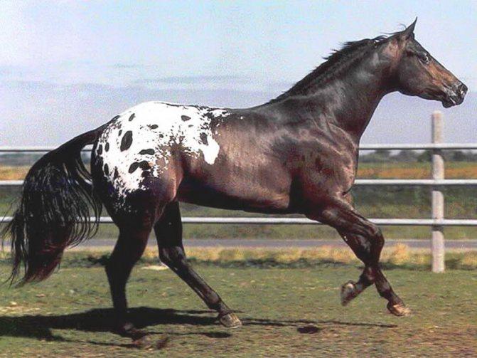 Хакнэ — история и характеристика породы | мои лошадки