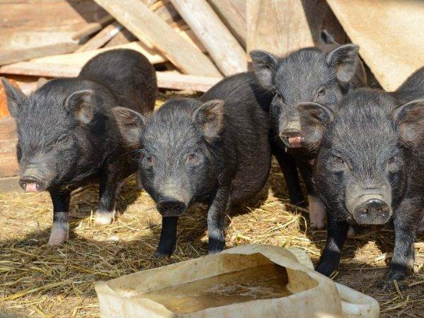 Выращивание поросят и свиноматки в домашних условиях