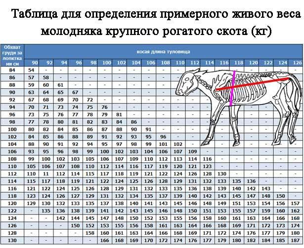 Вес коров: сколько в среднем весит живая корова? как узнать вес быка? измерение веса теленка