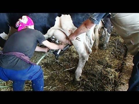 Горчит молоко коровы или имеют горький привкус. причины и решение