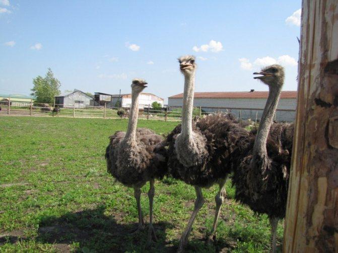 Разведение страусов: пошаговая инструкция для начинающих и пример бизнес-плана