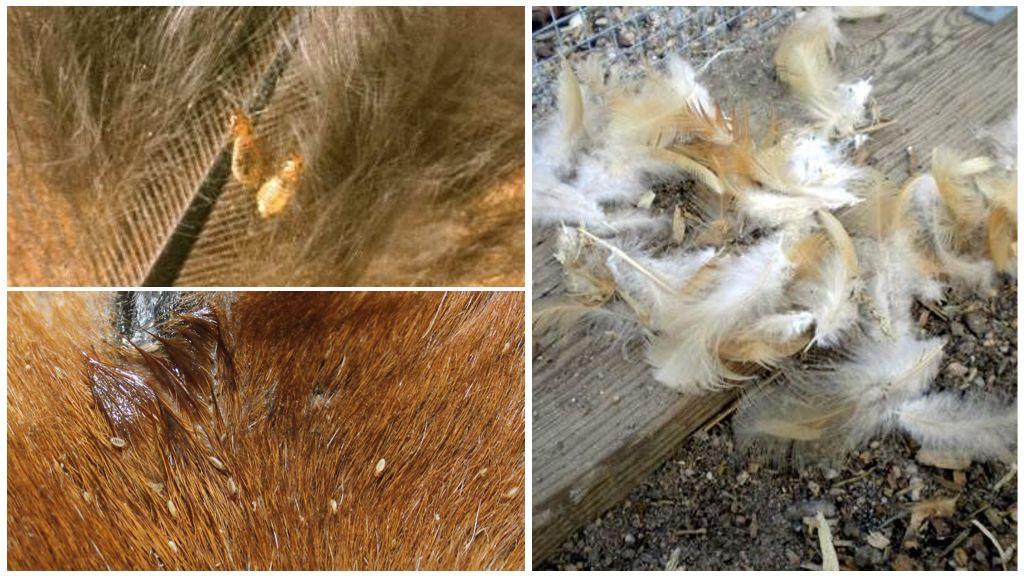 Куриный клещ: перьевой, красный и чесоточный, как бороться с паразитом