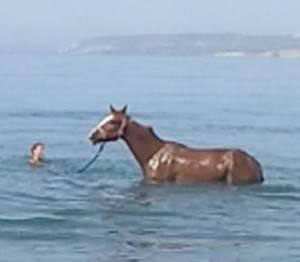Плавают ли лошади: насколько хорошо и как далеко плавают кони