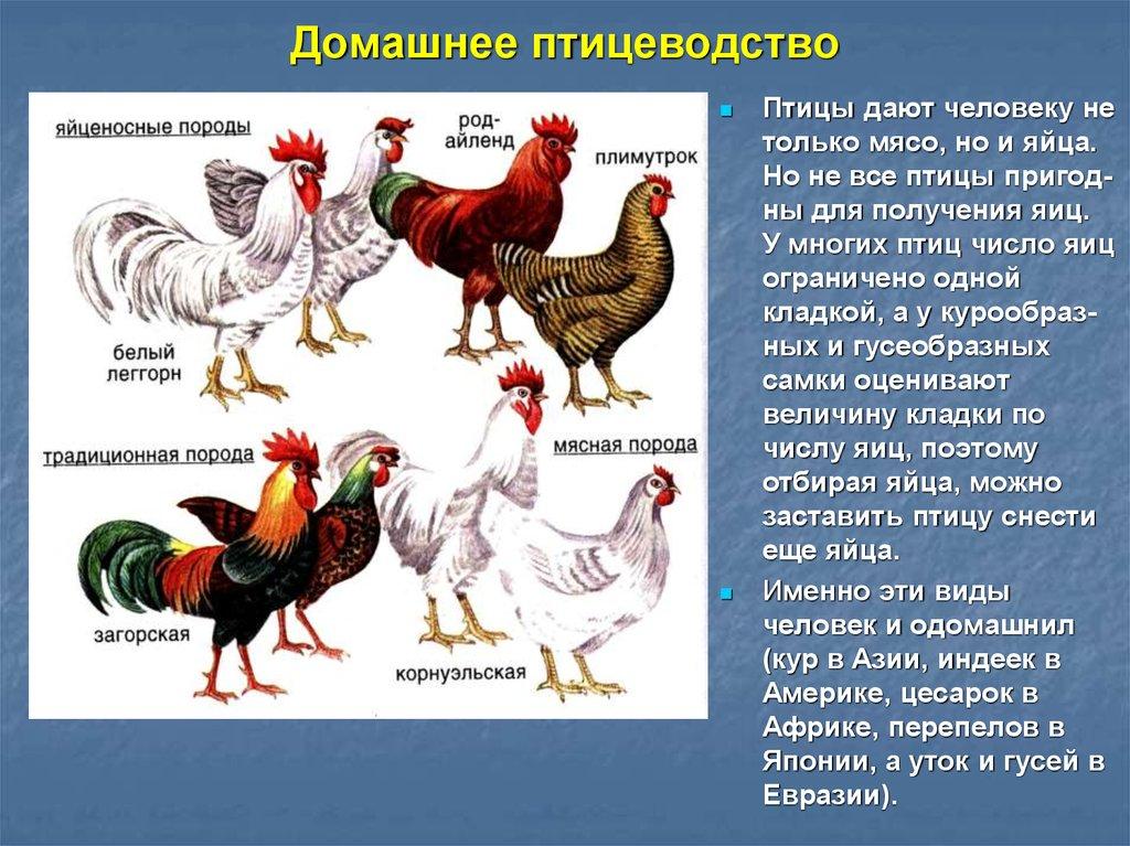 Самые яйценоские породы кур: краткое описание, характеристики
