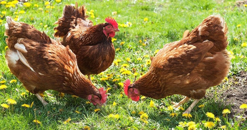 Посадка корма для кур в огороде и топ 3 самых любимых куриных сорняков — agroxxi