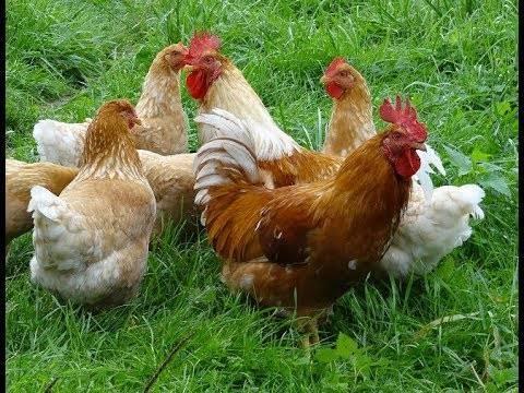 Лучшие куры мясо-яичных пород