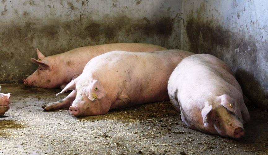 Классическая чума свиней: признаки заболевания, фото, вакцинация