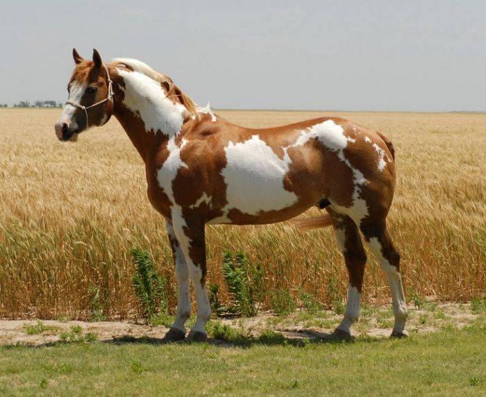 Пегая масть лошади: описание, фото, характеристика