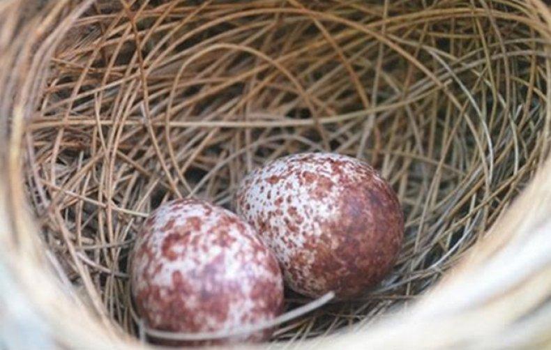 Когда перепёлки начинают нестись и как увеличить яйценоскость?