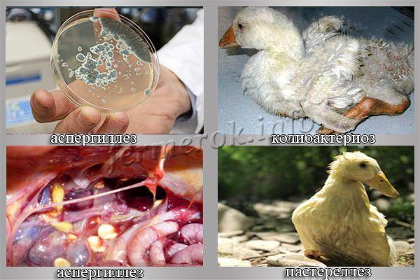 Болезни гусят: описание, чем лечить, симптомы