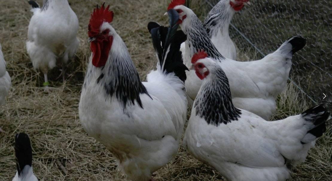 Серебристая адлерская порода кур – описание, фото и видео